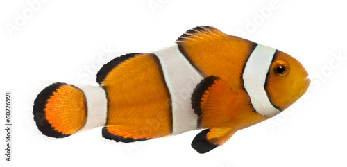 Side view of an Ocellaris clownfish, Amphiprion ocellaris Tablou Canvas