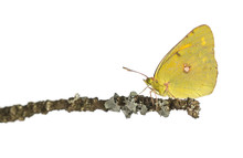 Side View Of A Clouded Sulphur On A Branch, Colias Philodice