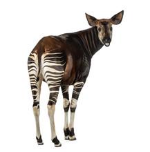 Rear View Of An Okapi, Looking Back And Mooing, Okapia Johnstoni