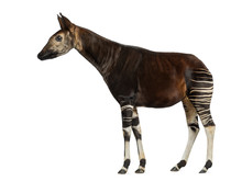 Side View Of An Okapi Standing, Okapia Johnstoni, Isolated