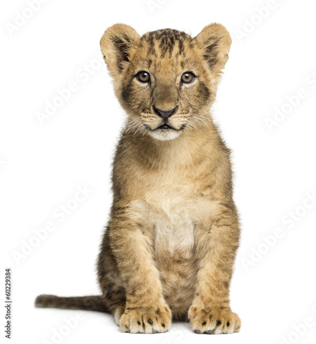 Recess Fitting Lion Lion cub sitting, looking at the camera, 10 weeks old, isolated