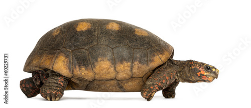 In de dag Schildpad Side view of Red-footed tortoise walking, Chelonoidis carbonaria