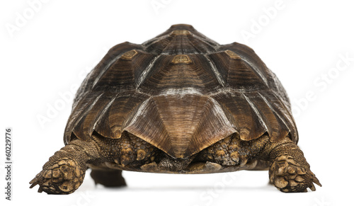 Poster Tortue Rear view of an African Spurred Tortoise standing