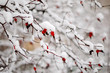 red berries in snow
