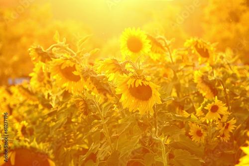 Foto op Aluminium Oranje Sunflower