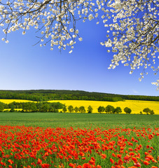 Obraz na Plexispring landscape with red poppy field