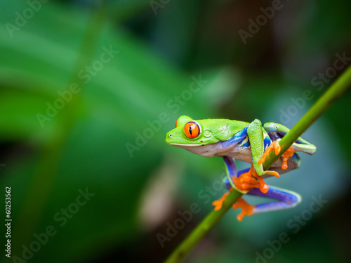 Photo sur Toile Grenouille Red eye frog