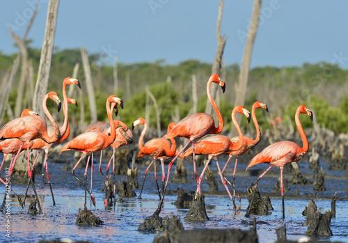 Spoed Fotobehang Flamingo Great Flamingo (Phoenicopterus ruber)