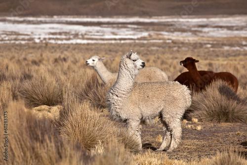 lama, alpaca