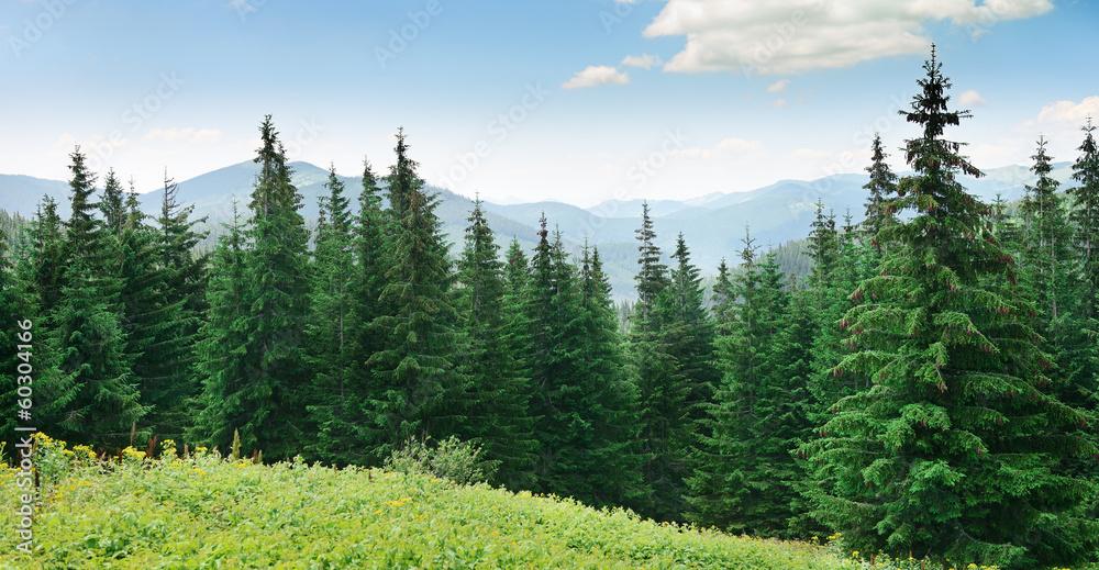 Fototapety, obrazy: Beautiful pine trees