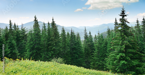 Beautiful pine trees Wallpaper Mural