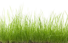 Green Uncut Grass