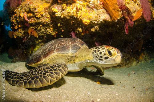 Foto op Aluminium Schildpad Green turtle