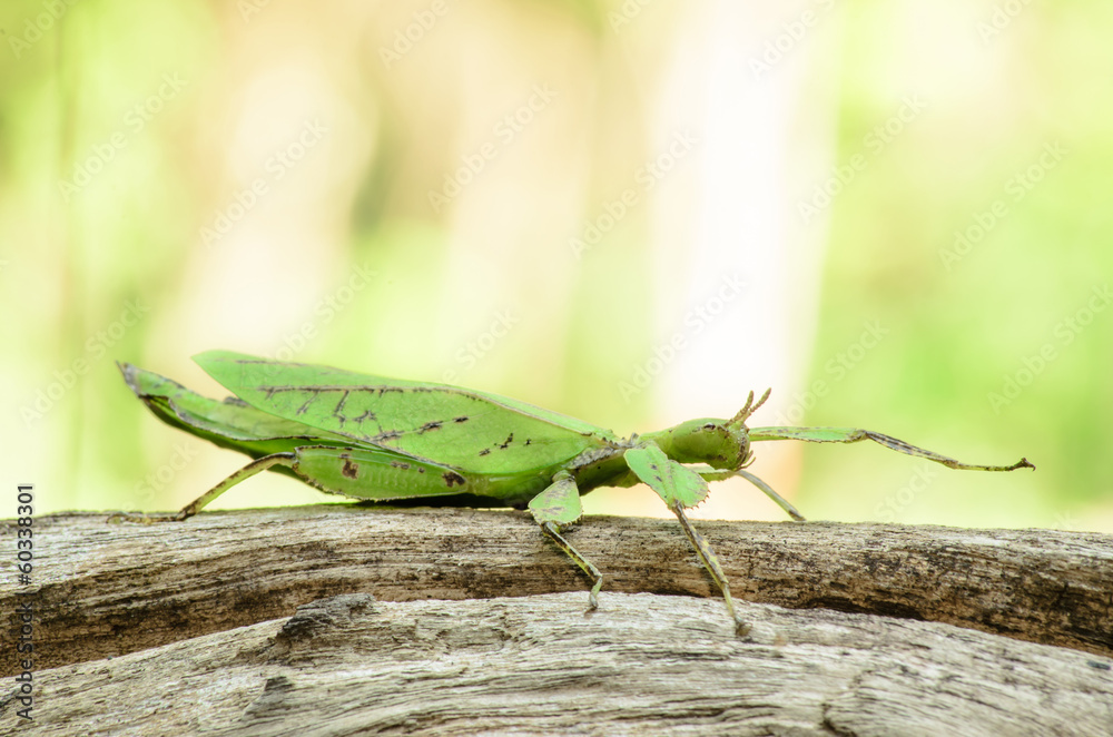 Fotografie, Tablou  Phyllium giganteum, leaf insect walking leave