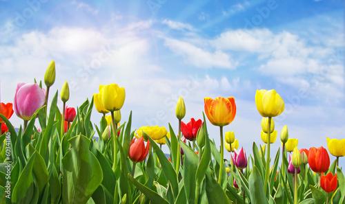 Plakat Wesołych Świąt: Pole tulipanów z niebieskim niebem :)
