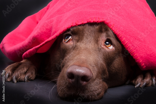 Labrador unter der Decke Canvas Print