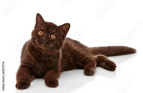 brown british short hair kitten, 3 month old