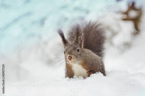 Foto op Canvas Eekhoorn Eichhörnchen im Schnee