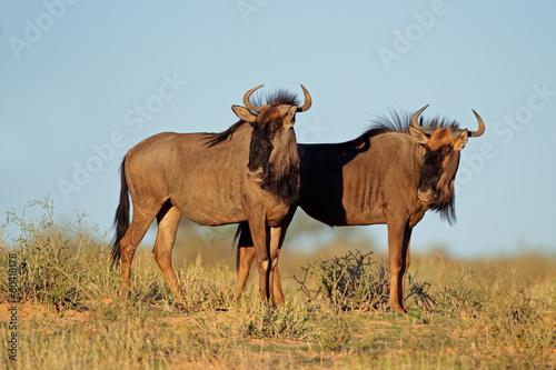 Staande foto Struisvogel Blue wildebeest, Kalahari desert