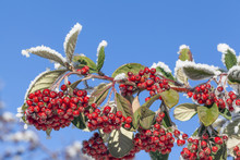 Rowan Berries Covered With Sno...
