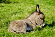 Young Donkey Eating Grass