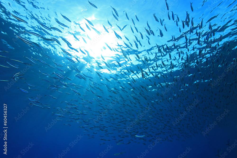 Fototapeta Shoal of anchovies in the sea