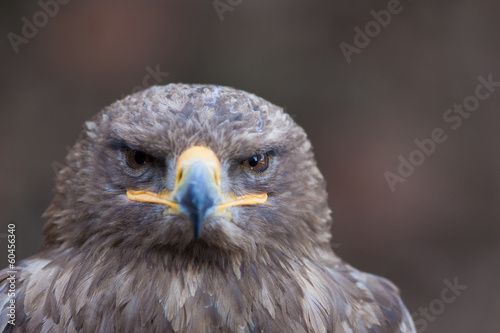 beautiful closeup of a falcon