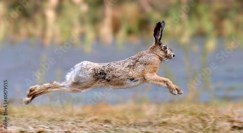 Canvas-taulu Hare
