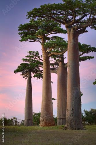 Poster Baobab Baobabs