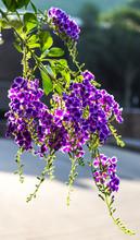Duranta Erecta Purple Flowers Bloom Beautifully In The Garden