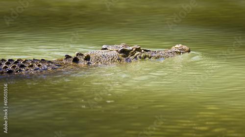 Papiers peints Crocodile Saltwater crocodile swimming