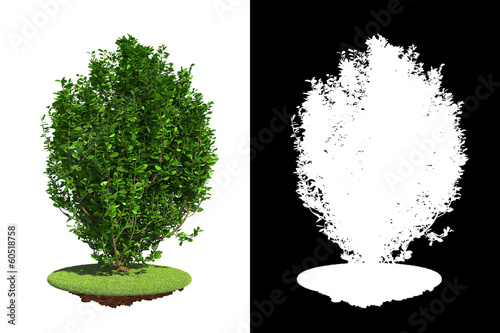 Foto  Green Bush Isolated on White Background.