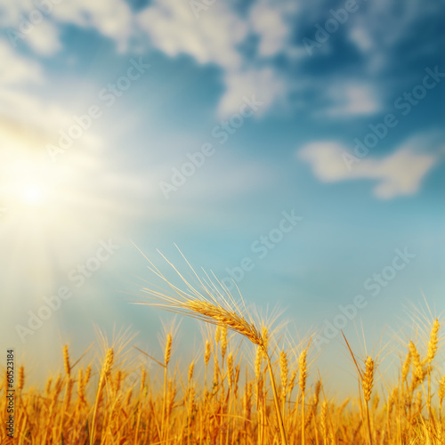 Garden Poster Beautiful morning golden harvest on field and sunset