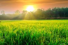 Morning Sunlight With Green Ri...