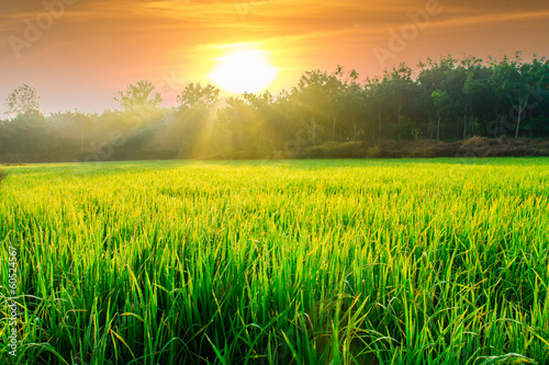 Photo sur Aluminium Sauvage Morning sunlight with green rice fields