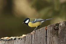 Great Tit Came At Seeds On Stump