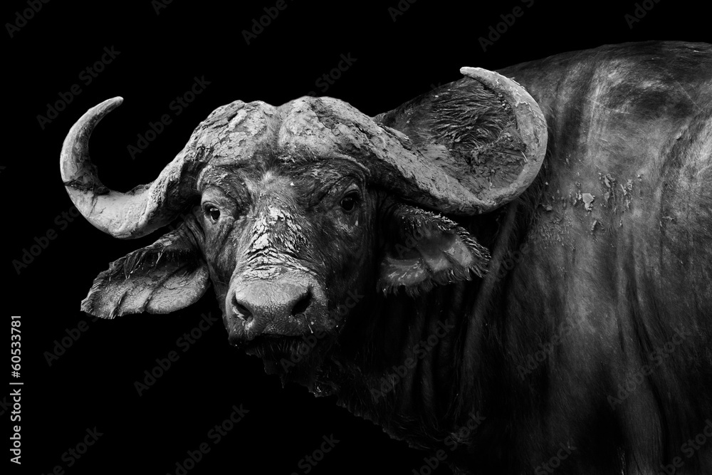Fototapeta Buffalo in black and white