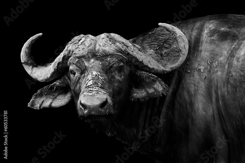 Photo sur Aluminium Bison Buffalo in black and white