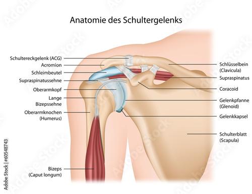 Fotografie, Obraz  Anatomie Schultergelenk mit Beschreibung deutsch