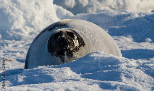 Greenland seal