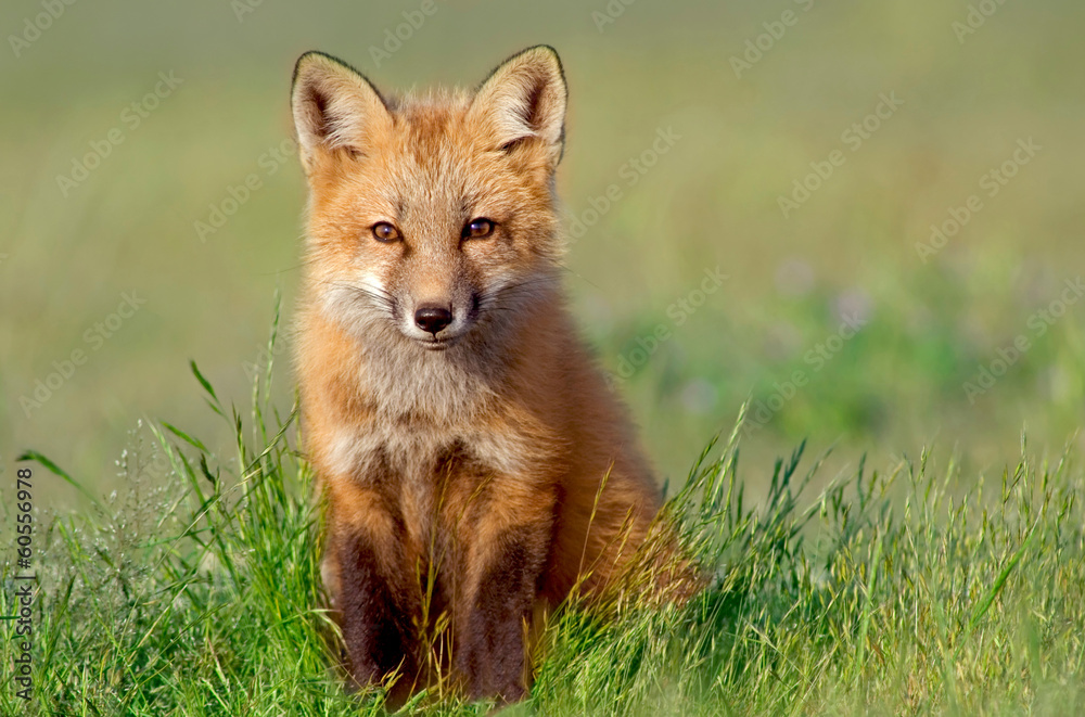 Fototapety, obrazy: Curious Fox Kit