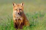 Fototapeta Zwierzęta - Curious Fox Kit