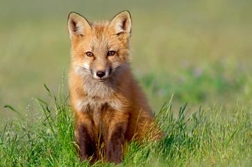 Fototapeta Curious Fox Kit