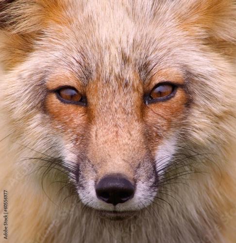Fotomural Foxy