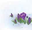 Vector crocuses flowers in snow.