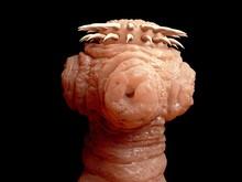 Kopf Eines Bandwurms