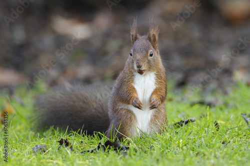 Foto op Canvas Eekhoorn Red squirrel
