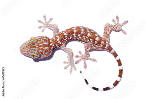 Gecko climbing isolated