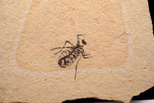 Fossil Of Insect In Japan