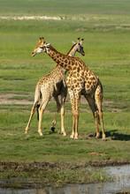 Zwei Männliche Giraffen